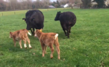 WATCH: Happiest calves in the world born in Tullamore