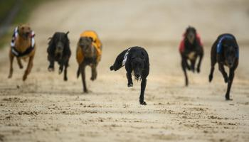 Magnificent seven winners for Offaly on the greyhound track