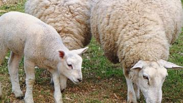 Extremely tight supplies driving lamb trade