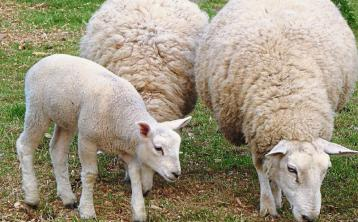 Strong demand for hoggets and lambs